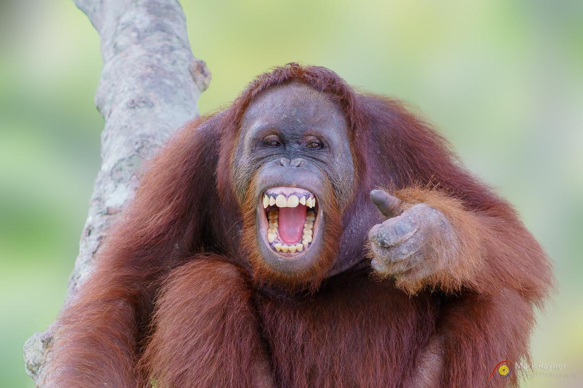 Orangutan laughing