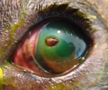 cornealfb
