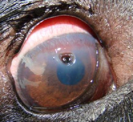 Cat Eye Ulcer Bleeding