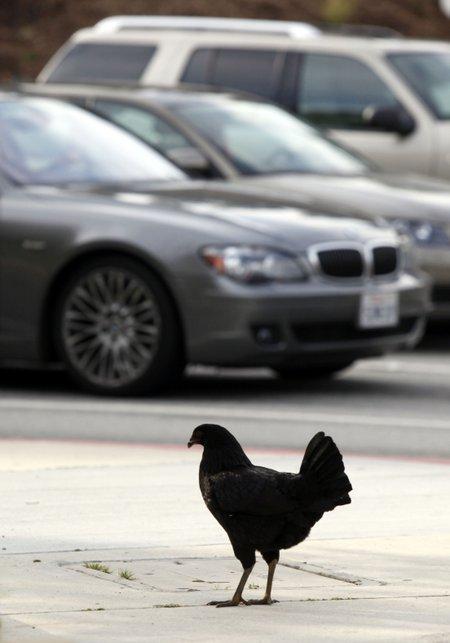 Chicken t450