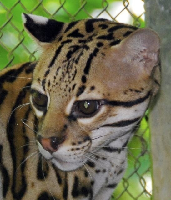 Released Ocelot and has reproduced in the wild.
