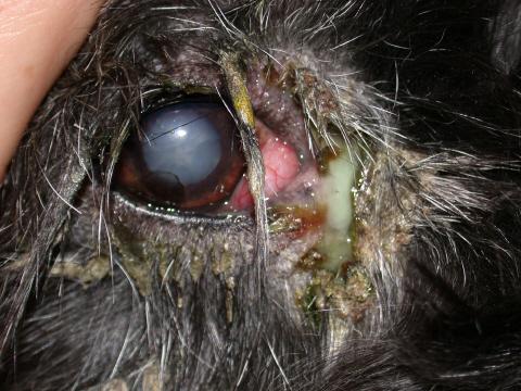 blepharitis3