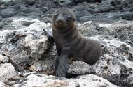 Ecuador Galapagos Wildlife Seal baby