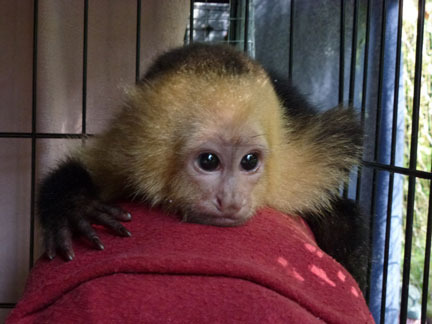 Punch, the baby Capuchin is our newest arrival at the Sanctuary.