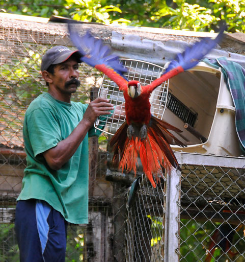 Successful Scarlet Macaw release.