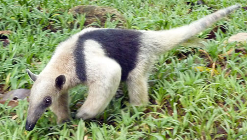 Another young Ant Eater released this year.