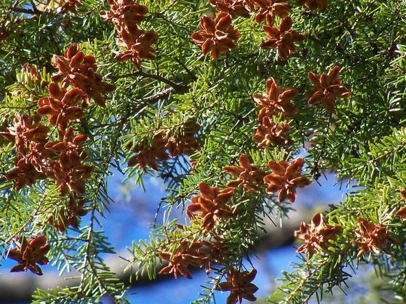 Amherst Trees 095