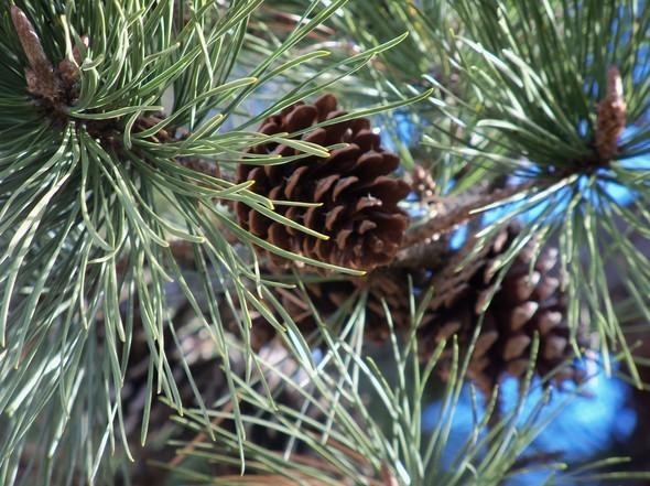 Amherst Trees 005