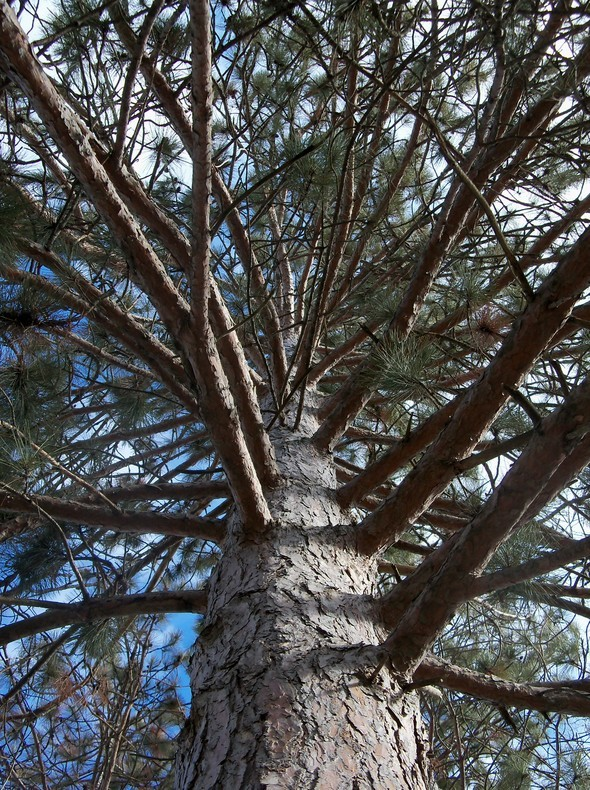 Amherst Trees 049