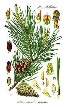 220px-Illustration Pinus sylvestris0 new