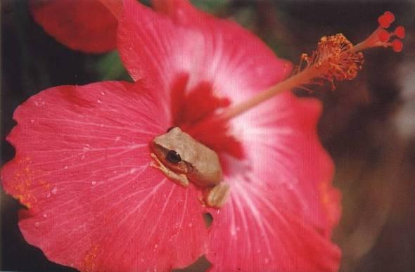 Coqui on hibiscus small