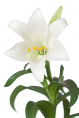 main.easter-lily