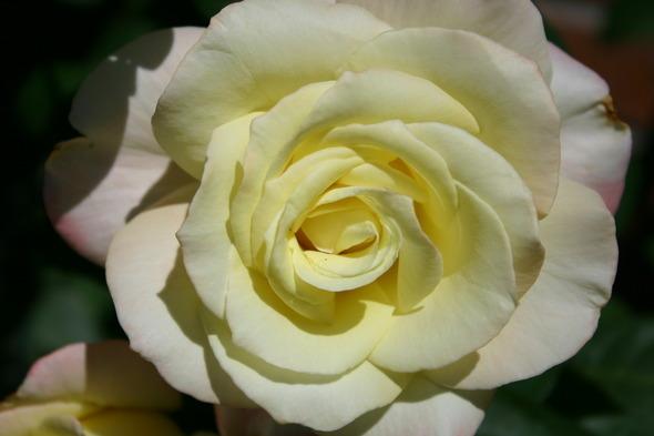 rosa close