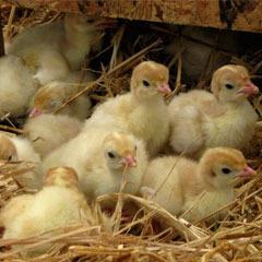 baby-turkeys8686-0