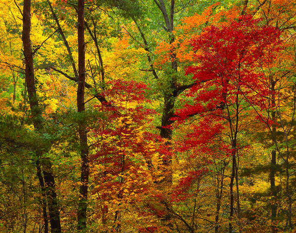Neill William Red Maples and forest  autumn  Great Smoky Mountain National Park  Tennessee Landscapes 2012