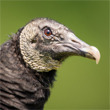 Vulture