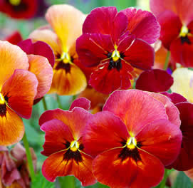 pansy-flowers