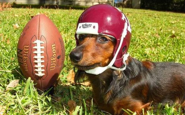 DachshundFootball