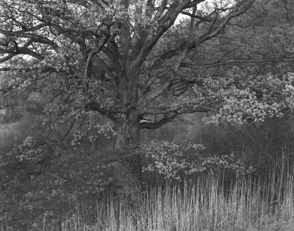Oak Tree  Holmdel  NJ  1970