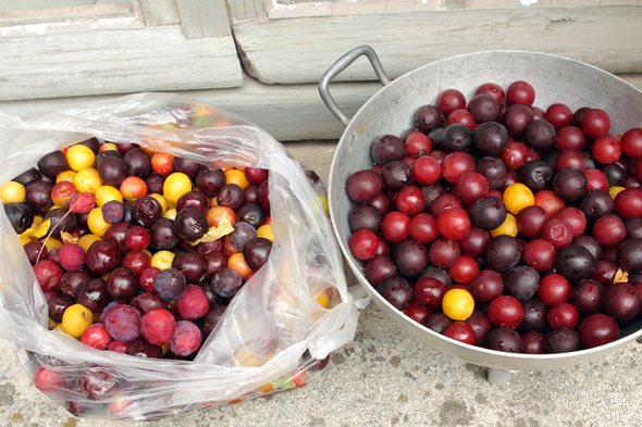 wild plum harvest