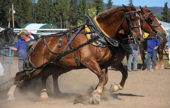 Draft-Horses