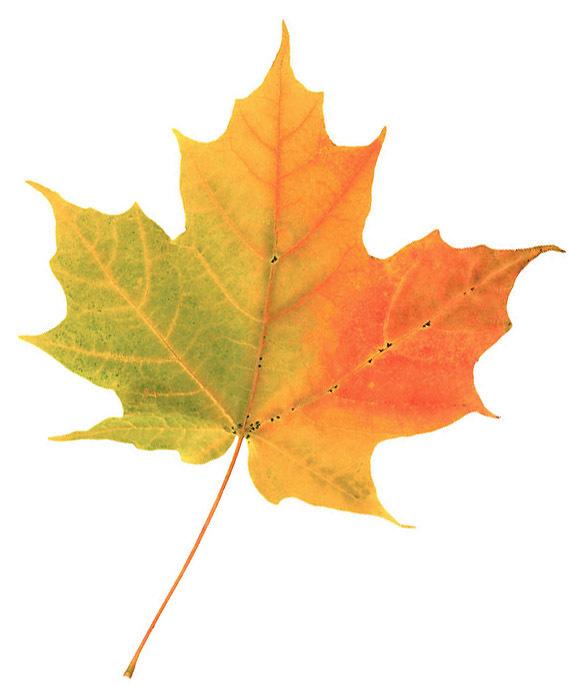 fall-leaf23783-0