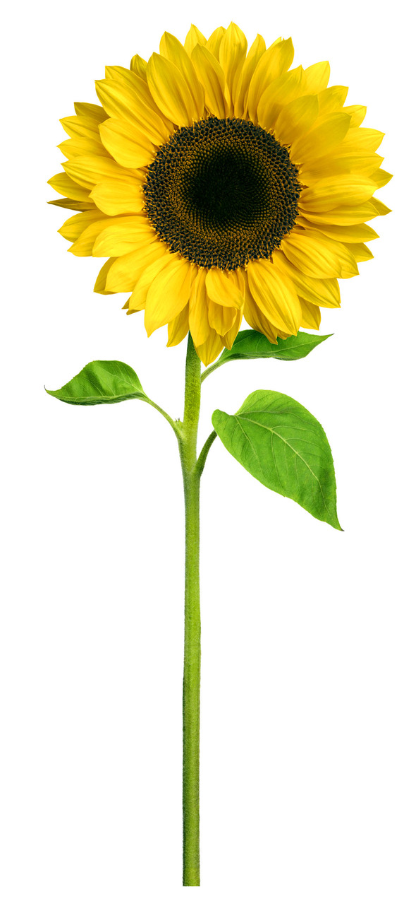 sunflower-copy