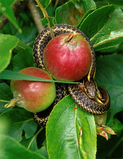 snake in apple tree
