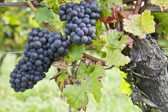 growing-grapes-and-making-homemade-wine