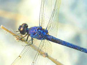 dragonfly-totem-300
