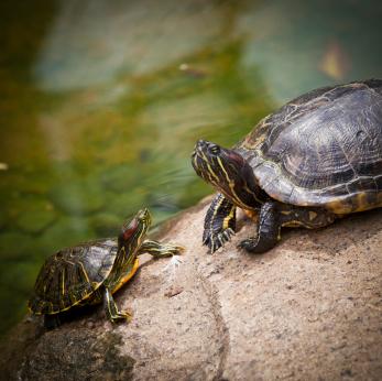 Turtles iStock 000014912309XSmall