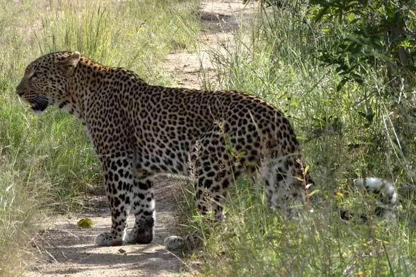 leopard ralf