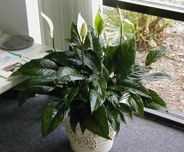 Health Boosting House Plants
