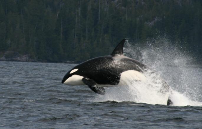Orca leaping-tofino
