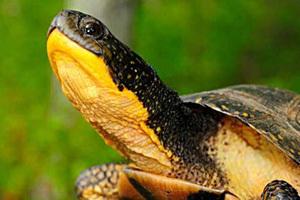 Blanding s Turtle