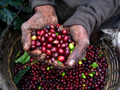 Coffee-Harvesting