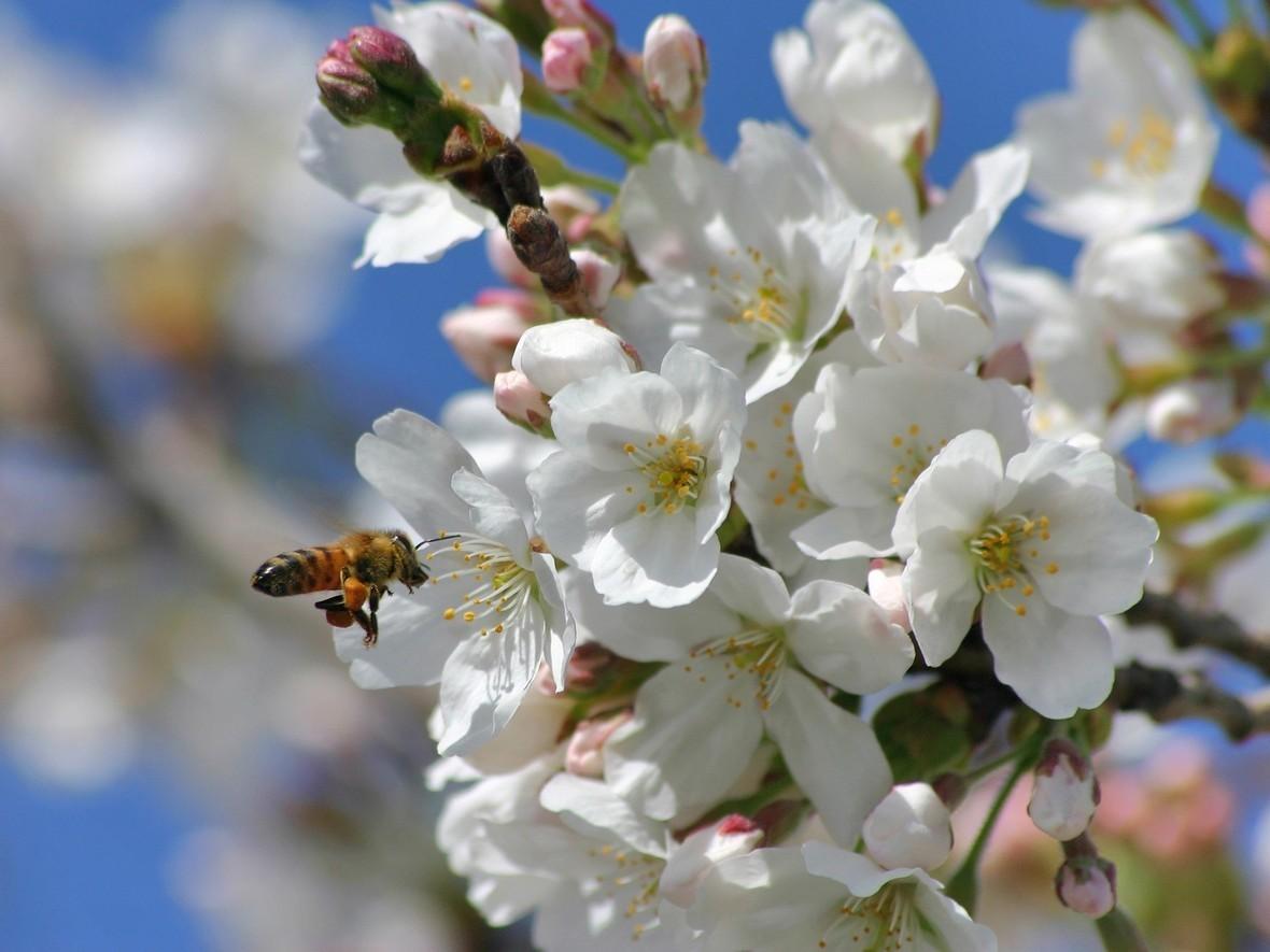 ws Springtime Blossoms 1600x1200