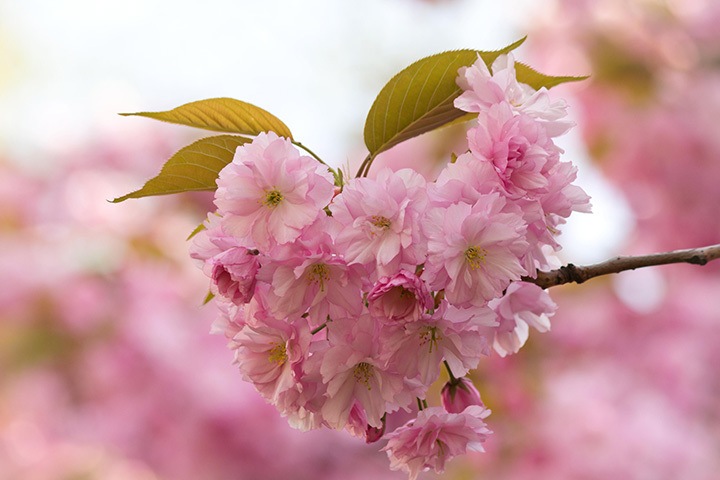 cherry blossoms-smaller