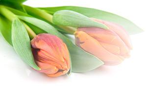 HH-tulips-2