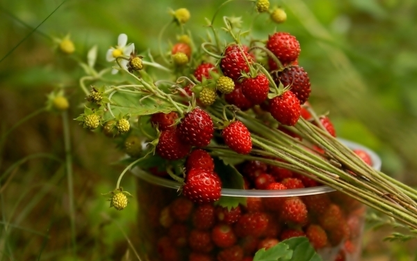 nature summer strawberries berries 2560x1600 wallpaper wallpaperswa.com 24