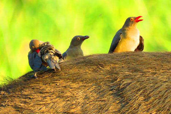 birds buff