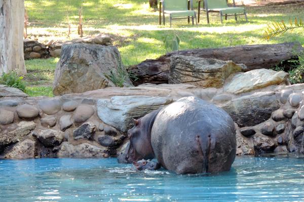 hippos pool4