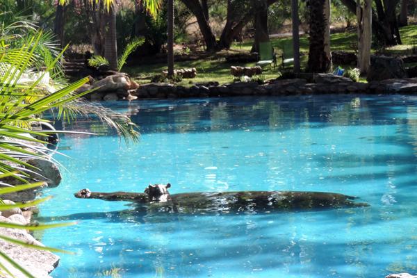 hippos pool1