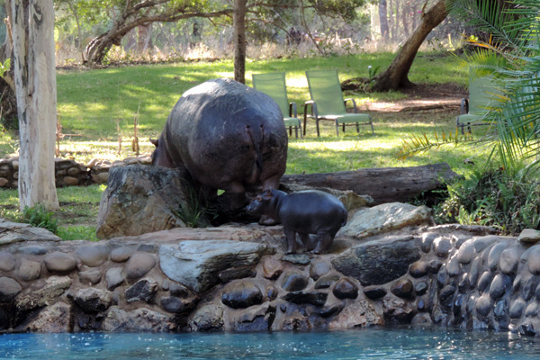 hippos pool7