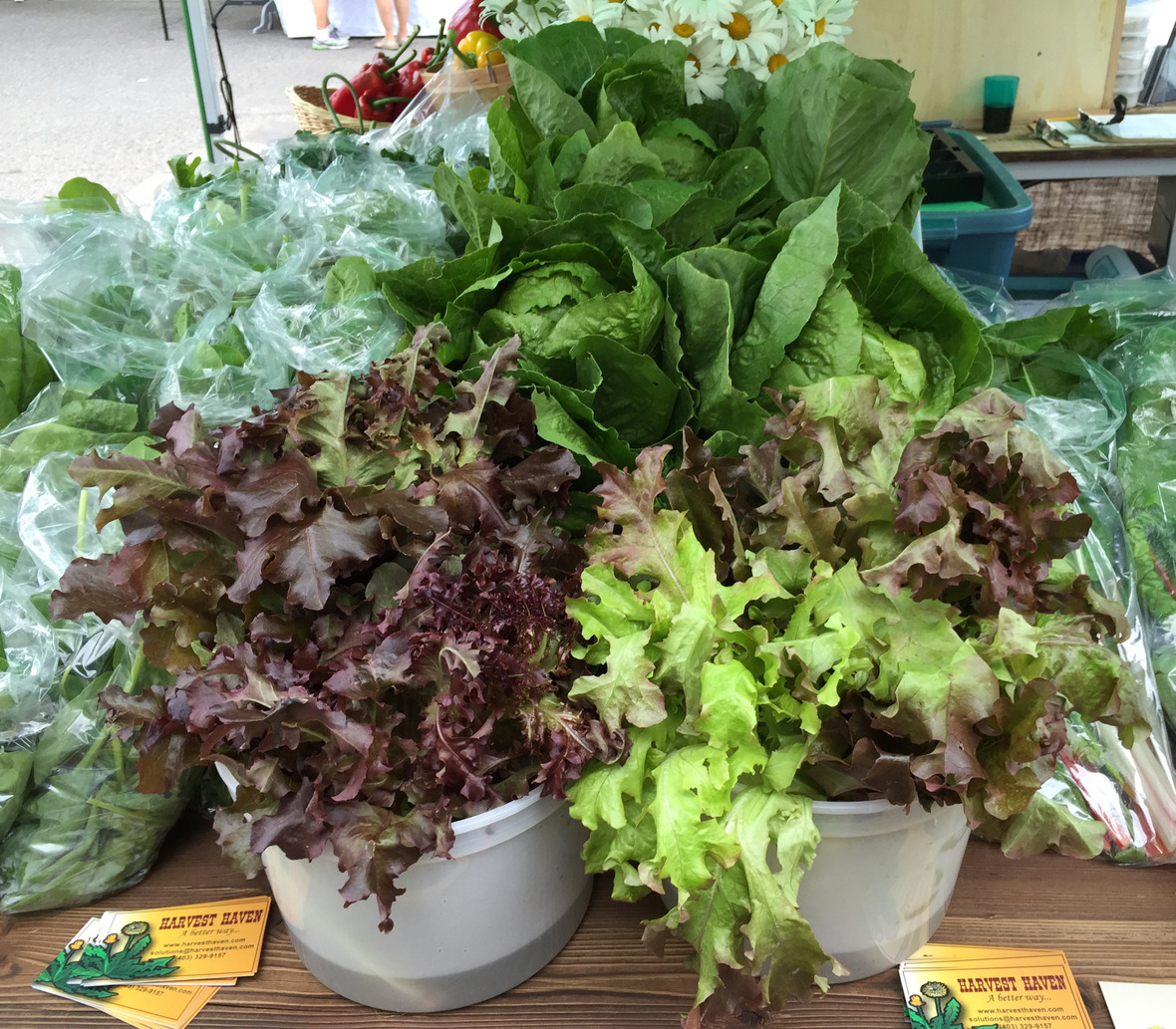 Oakleaf Lettuce2