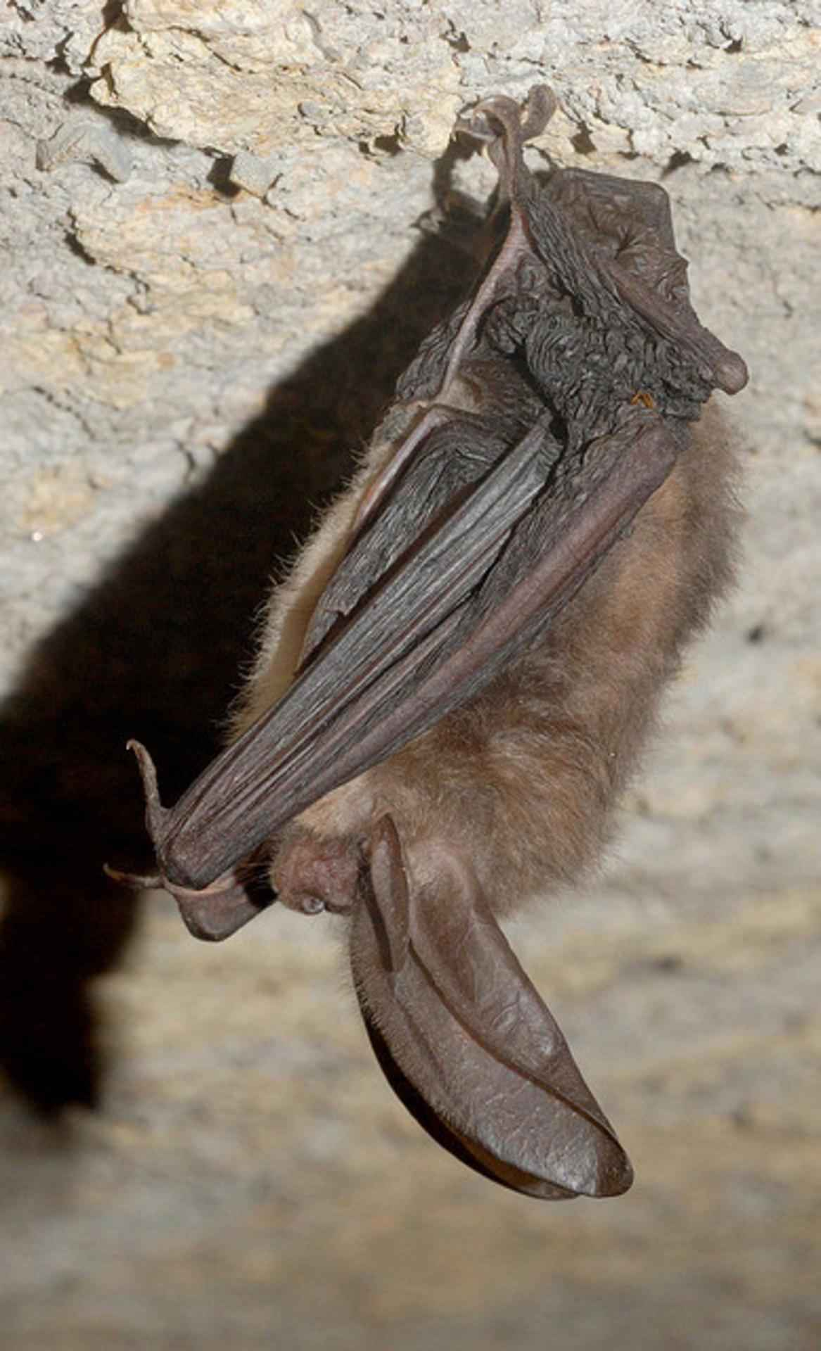 Townsend s  big eared bat Craig Stihler photo public domain