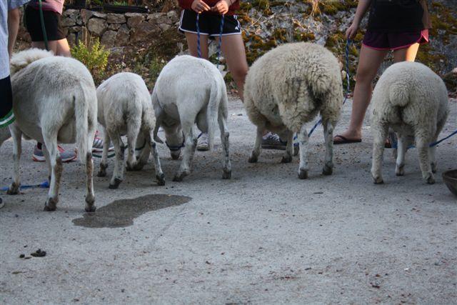 4hcommunity club lamb project