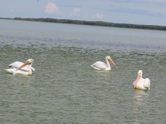 pelicans SherryG