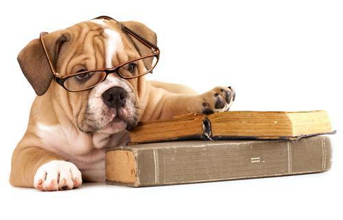 bulldog with books