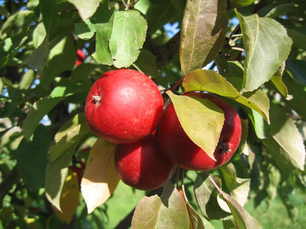 HH Apples